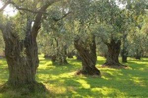 corsica-OLIVES-TREES-Marina-new