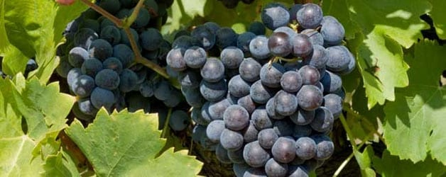 Grenache: An Honorable Vine
