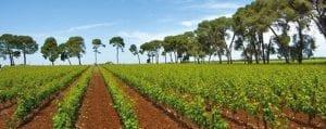 puglia wine - vineyards