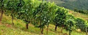 Basque Vineyard